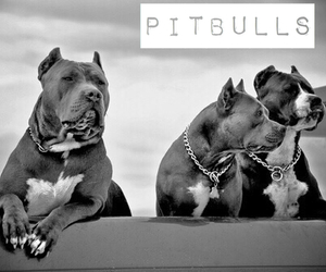dog, pitbull, and black and white image