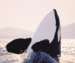 beautiful, nature, and orcas image