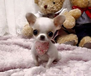 chiwawa and cute image