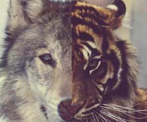 animal, tiger, and wolf image