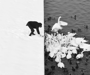 black and white, Swan, and photography image