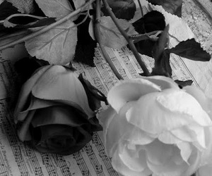 rose and white image