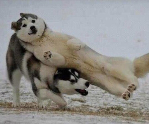 dog, funny, and husky image