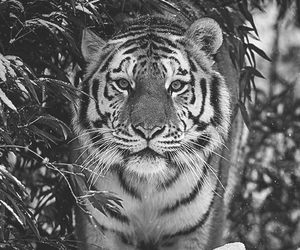 tiger, animal, and winter image