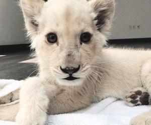 animal, lion, and white image