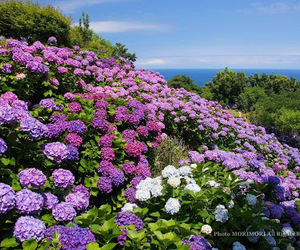 hydrangea and nature image