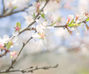blossom, cherry, and flickr image