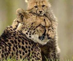 animal, cheetah, and leopard image