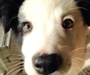border collie, dog, and eyes image
