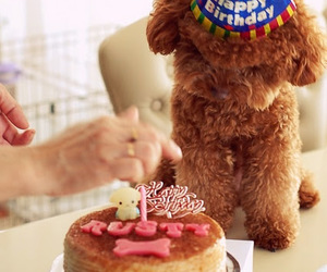 photograpgy, poodle, and toy poodle image