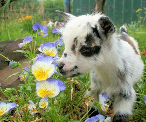 adorable, goat, and flower image