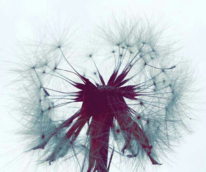 wallpaper, dandelion, and nature image