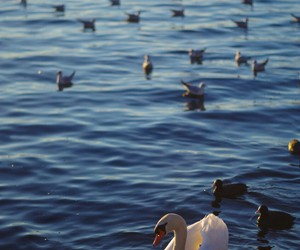 duck, Swan, and water image