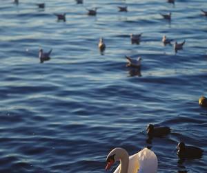 duck, ducks, and Swan image