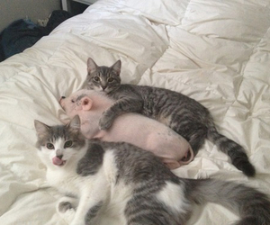 cat, pig, and animal image