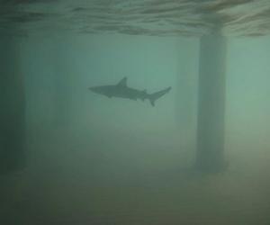shark, water, and ocean image