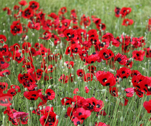 flowers, red, and papaver commutatum image