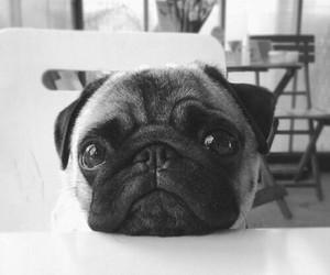 dog, pug, and cute image