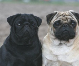 animal, pug, and cute image