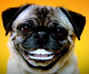 dog, funny, and pug image