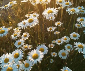 flowers, daisy, and gif image