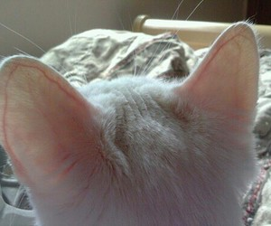 cat, ear, and pale image
