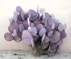 plants, cactus, and purple image