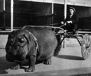hippo, old, and black and white image