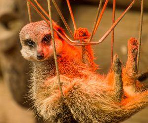 africa, animal, and meerkat image