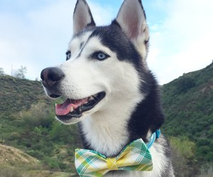 adorable, bow tie, and siberian husky image