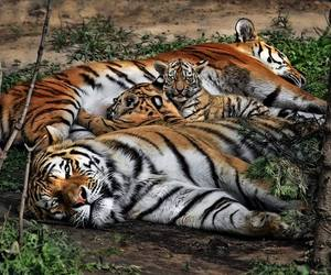 tiger cub, baby animals, and tigers image