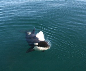 dolphins, orca, and killer whale image
