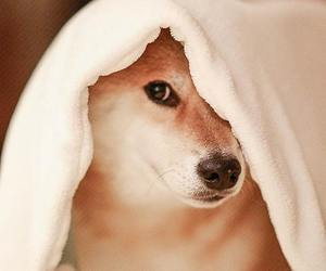 dog, shiba, and fat image