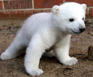 cute, bear, and Polar Bear image