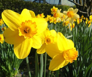 amusement park, blume, and daffodils image
