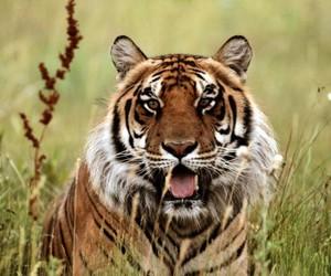 animal, bengal, and cat image