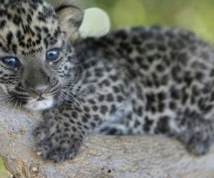 leopard, cute, and cats image