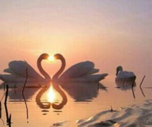 sunset, Swan, and love image