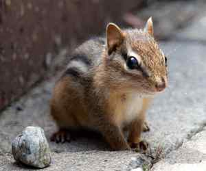 adorable, baby animal, and chipmunk image
