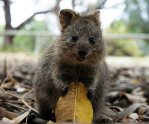 cute, quokka, and animal image