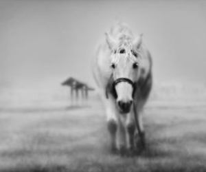 horse, white, and black and white image