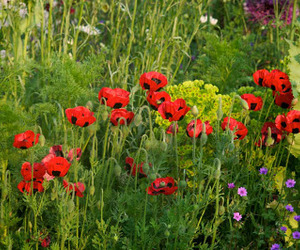 garden, poppies, and flowers image
