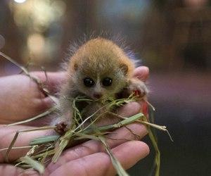 baby animals, cute animals, and pygmy slow loris image