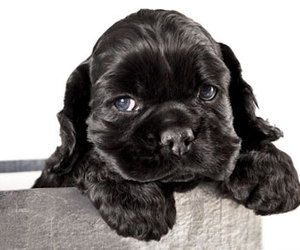black, cocker spaniel, and puppy image
