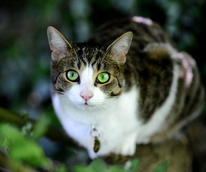 animals, cat, and green eyes image