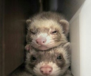 animals and ferrets image
