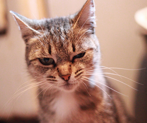 angry, cat, and cute image