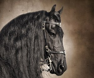 black, horse, and head shot image