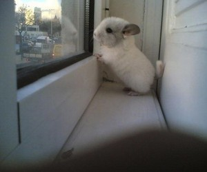 cute, Chinchilla, and animal image