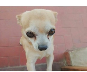 chihuahua, dog, and lovely image